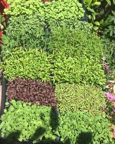 I bought these merveilleux Micro Plants  at Farmers Market this morning  Yum! Healthy eating iis beautiful #luchiacookbook is available on Amazon.com in English and Spanish #luchiachia #chef #culinarychef #cheflife #culinary #cheflife #chefconsultant #chefsofinstagram #foodblogger #foodmagazine #healthylife is #amazing #eatinghealthy is #beautiful #healthy #healthyliving #healthyeating #delicious #foodie #foodlover #siliconvalley #stanford #sanfrancisco #california  Beautiful Sunday in…