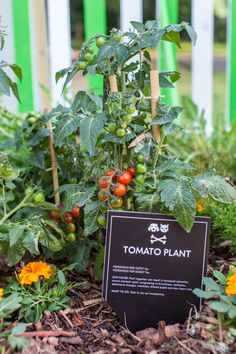 Tomato Plants toxic for cats and dogs Toxic Plants For Cats, Cat Safe Plants, Cat Plants, Keep Cats Away, Cat Health Care, Hidden Garden, Poisonous Plants, Cats For Sale, Tomato Plants