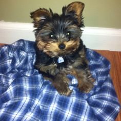 Smitty, my Yorkie, absolutely the cutest dog in the world!