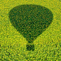 A hot air balloon casts a shadow over a field of sunflowers in Israel.
