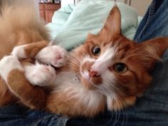 cute ginger cat likes to hold its back paws