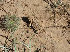 horned toad - Grew up in Ridgecrest, CA. These cute little guys used to be everywhere.