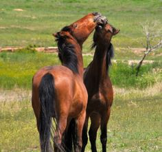 Spanish mustangs at play Photo Karla R. LaRive May 2014 — at Black Hills Wild Horse Sanctuary.