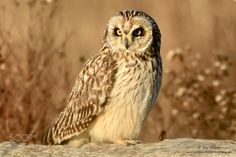 Short Eared Owl by JoseAlbero #animals #animal #pet #pets #animales #animallovers #photooftheday #amazing #picoftheday