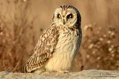 Short Eared Owl by JoseAlbero #animals #animal #pet #pets #animales #animallovers #photooftheday #amazing #picoftheday