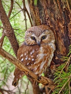Adult northern saw-whet owl. The owl was photographed in a local wildlife area. The owl has found a well protected area to roost during the day which is typical of these very tiny owls. Beautiful Owl, Animals Beautiful, Owl Bird, Pet Birds, Saw Whet Owl, Owl Pictures, Owl Photos, Great Pictures, Tier Fotos