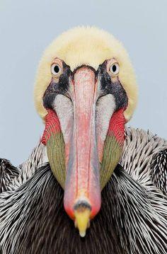 mysleepykisser-with-feelings-hid:  Brown Pelican