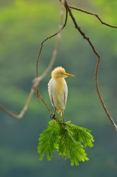 fairy-wren: cattle egret (photo by agung cakrawala)
