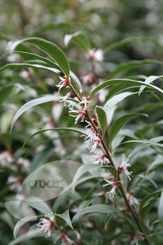 Scented sweet box Sarcococca hookeriana var. 'digyna' makes excellent evergreen cover