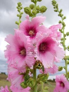 Pink Hollyhock ruffles....so beautiful!
