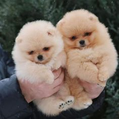 Two adorable snowballs from @zoo_room_1 #Pomeranian