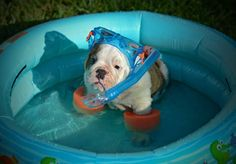 English bulldog in pool