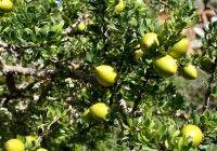 Czy wiesz skąd pochodzi cenny olej arganowy? Sprawdź na http://www.natuwit.pl/zloto-maroka-o-oleju-arganowym-slow-kilka/
