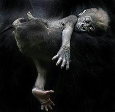 Baby Ape via Frans de Waal. Gorilla's zijn zo prachtig mooi!