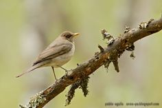mis fotos de aves: Zorzal chalchalero [Turdus amaurochlinus] Creamy-b...