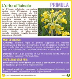 La Primula officinalis