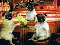 PetsLady's Pick: Funny Margarita Pugs Of The Day...see more at PetsLady.com -The FUN site for Animal Lovers