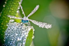 Macro Photographs of Dew Covered Dragonflies and Other Insects by David Chambon
