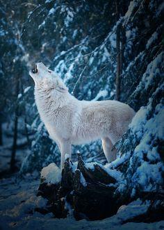 Good Morning Call of an Arctic Wolf by  Michael Schönberger:   The cold winter days show the Artic wolves in their beauty. Der kalte winter Zeit die arktischen Wölfe in ihrer vollen Pracht. www.Schoenberger.Photography
