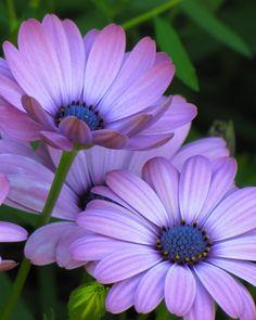~~African Daisy by milanspa.vn/dich-vu/tri-hoi-nach/benh-hoi-nach-co-the-chua-khoi-hoan-toan. Wonderful Flowers, Purple Flowers, Beautiful Flowers, Daisy Flowers, Fresh Flowers, Flowers Nature, Exotic Flowers, Imagen Natural, Chicago Botanic Garden