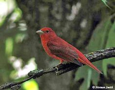Stay Positive & Optimistic even when Bad Things Happen - Summer Tanager