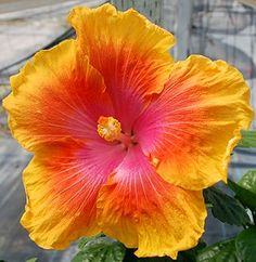 Exotic Hibiscus 'Path to Peace'