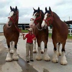 CLYDESDALES so big and beautiful ……. WOW Their heads are almost as long as she is tall!!