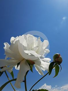 White Peony on blue sky stock photo. Image of abstract - 148642864 Blue Sky Background, White Peonies, Peony, Roses, Stock Photos, Bird, Abstract, Flowers, Plants