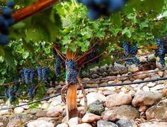 Verde Valley Wine Trail, Cottonwood, Arizona, connects the dots between 4 wineries: Alcantara Vineyards, Page Springs Cellars, Oak Creek Vineyards, & Javelina Leap Vineyards, and 2 tasting rooms: Caduceus Cellars and the Jerome Winery.