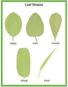 Illustrated Botany for Children - Leaves