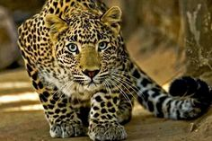 Beautiful leopard being beautiful...mrrrow!