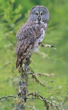 Great Gray Owl - photo taken by Sparky Stensaas at The Big Bog in northern Minnesota. by by billie Owl Photos, Owl Pictures, Owl Who, Strix Nebulosa, Great Grey Owl, Gray Owl, Horned Owl, Backyard Birds, Owl Always Love You