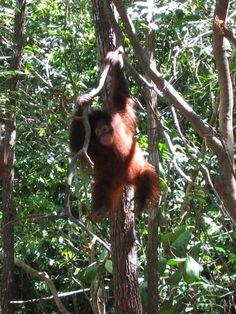 Oran outan ; Kota kinabalu ; Borneo ; Malaysia