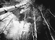 Aspen Trees Snow BW Aspens Snowy Colorado by TheForestsEdgePhotos