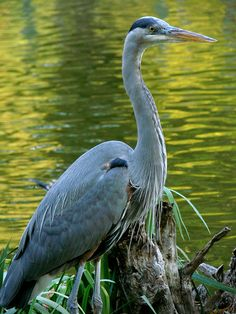Great Blue Heron-visits frequently to plunder our pond of its koi, southern Ontario, Canada