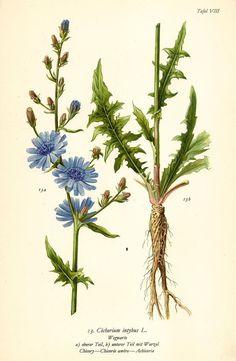 WEGWARTE CICHORIUM INTYBUS Botanik Farbdruck Antiker Druck Antique Print