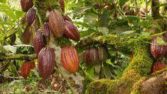 Cómo Funciona la Producción de Chocolate Colombiano - TvAgro por Juan Go...