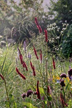 Persicaria amplexicaulis 'Fats Domino', Eragrostis elliottii 'Wind Dancer'