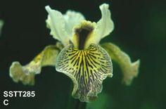 Iris chrysographes hybrid