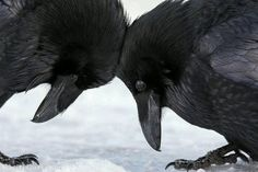 Ravens in the snow by Colleen Gara in Banff National Park, Alberta, Canada.