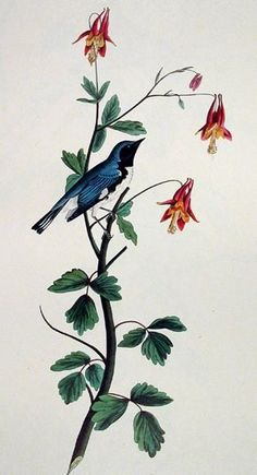 Black-throated blue warbler for my shoulder