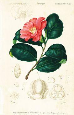 1861 Camellia du Japon Orbigny Planche Originale Couleurs peintes à la main Qualité Exceptionnelle Botanique Fleurs roses décor floral
