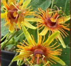Passiflora - Sunburst Just really cool looking! Flora Flowers, Unusual Flowers, Flowers Nature, Tropical Flowers, Amazing Flowers, Unique Plants, Exotic Plants, Cool Plants, Hibiscus