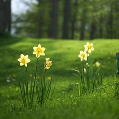 Image result for yellow daffodils in Kentucky