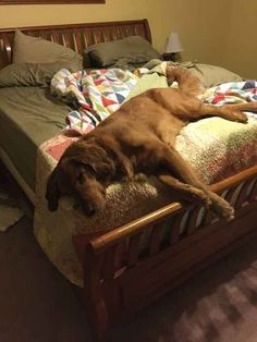 This cute doggie who barely fits on his human's bed.