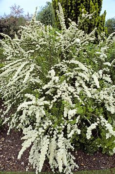 Shrubs: Spiraea  - CountryLiving.com