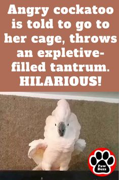 This angry cockatoo' This angry cockatoo's reaction is hilarious! Pebble doesn't take any orders from anyone. I'm literally falling over! Funny Birds, Cute Funny Animals, Funny Cute, Funny Dogs, Hilarious, Funny Animal Videos, Funny Animal Pictures, Cockatoo, My Guy