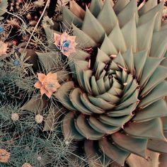 Aloe polyphylla swirls in the below mysterious flowers.