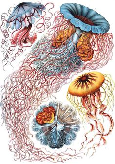 ERNST HAECKEL SCIENTIFIC ILLUSTRATIONS