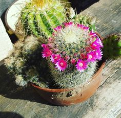#cactuses #flowering #purpleblooms #opuntia #mammillaria